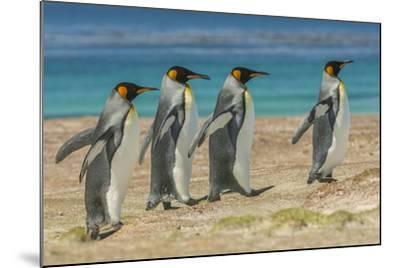 Falkland Islands, East Falkland. King Penguins Walking-Cathy & Gordon Illg-Mounted Photographic Print