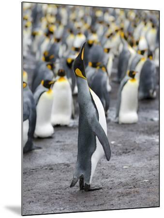 King Penguin, Falkland Islands, South Atlantic-Martin Zwick-Mounted Photographic Print
