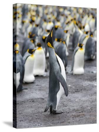 King Penguin, Falkland Islands, South Atlantic-Martin Zwick-Stretched Canvas Print