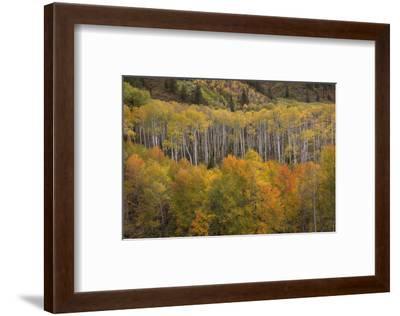 USA, Colorado, White River NF. Aspen Grove at Peak Autumn Color-Don Grall-Framed Photographic Print