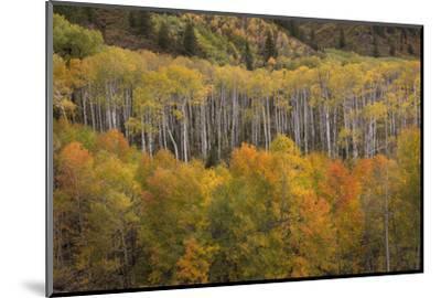 USA, Colorado, White River NF. Aspen Grove at Peak Autumn Color-Don Grall-Mounted Photographic Print