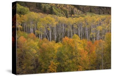 USA, Colorado, White River NF. Aspen Grove at Peak Autumn Color-Don Grall-Stretched Canvas Print