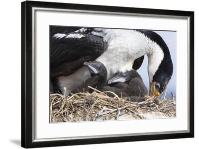 Imperial Shag in a Huge Rookery. Adult with Chick. Falkland Islands-Martin Zwick-Framed Photographic Print