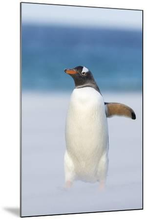 Gentoo Penguin Walking to their Rookery, Falkland Islands-Martin Zwick-Mounted Photographic Print