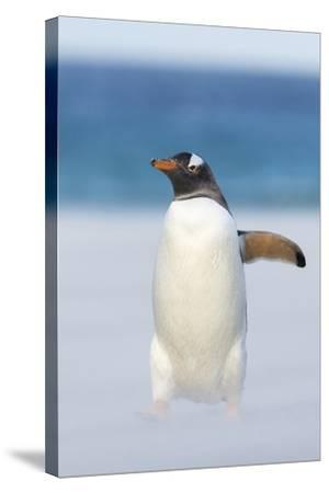 Gentoo Penguin Walking to their Rookery, Falkland Islands-Martin Zwick-Stretched Canvas Print