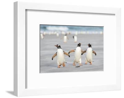 Gentoo Penguin Walking to their Rookery, Falkland Islands-Martin Zwick-Framed Premium Photographic Print