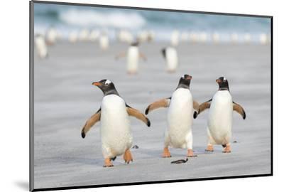 Gentoo Penguin Walking to their Rookery, Falkland Islands-Martin Zwick-Mounted Premium Photographic Print