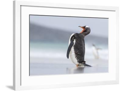 Gentoo Penguin (Pygoscelis Papua) on the Falkland Islands-Martin Zwick-Framed Photographic Print