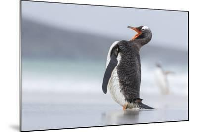 Gentoo Penguin (Pygoscelis Papua) on the Falkland Islands-Martin Zwick-Mounted Photographic Print