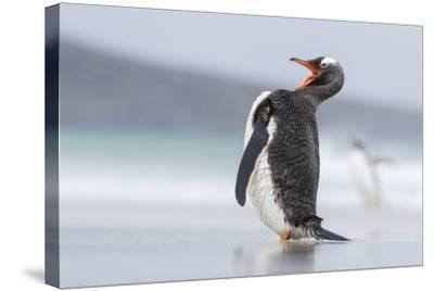 Gentoo Penguin (Pygoscelis Papua) on the Falkland Islands-Martin Zwick-Stretched Canvas Print