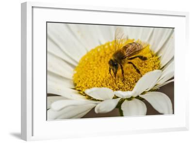USA, Colorado, Jefferson County. Honey Bee on Daisy Blossom-Cathy & Gordon Illg-Framed Photographic Print