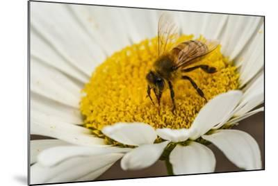 USA, Colorado, Jefferson County. Honey Bee on Daisy Blossom-Cathy & Gordon Illg-Mounted Photographic Print
