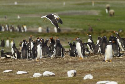 Falkland Island. Kelp Gull Flies over Gentoo Penguin Colony-Cathy & Gordon Illg-Framed Photographic Print