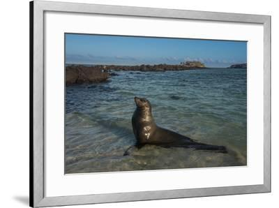 Galapagos Sea Lion Galapagos, Ecuador-Pete Oxford-Framed Photographic Print