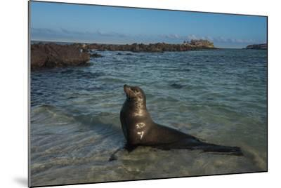 Galapagos Sea Lion Galapagos, Ecuador-Pete Oxford-Mounted Photographic Print