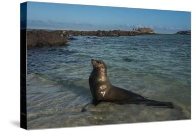 Galapagos Sea Lion Galapagos, Ecuador-Pete Oxford-Stretched Canvas Print