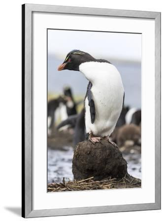Rockhopper Penguin. Falkland Islands-Martin Zwick-Framed Photographic Print