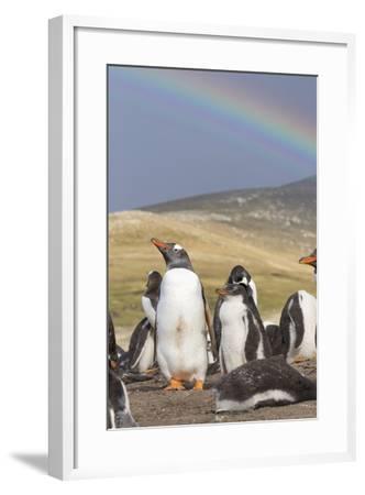 Gentoo Penguin on the Falkland Islands, Rookery under a Rainbow-Martin Zwick-Framed Photographic Print