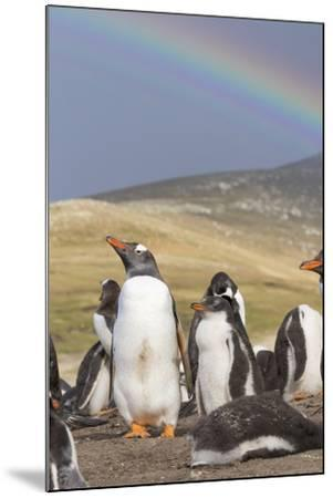 Gentoo Penguin on the Falkland Islands, Rookery under a Rainbow-Martin Zwick-Mounted Photographic Print