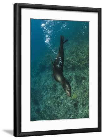 Galapagos Sea Lion Underwater, Galapagos, Ecuador-Pete Oxford-Framed Photographic Print