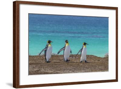 Falkland Islands, East Falkland. King Penguins Walking-Cathy & Gordon Illg-Framed Photographic Print