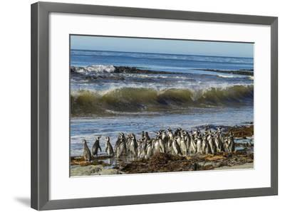 Falkland Islands, Sea Lion Island  Magellanic Penguins and Surf  Photographic Print by Cathy & Gordon Illg   Art com
