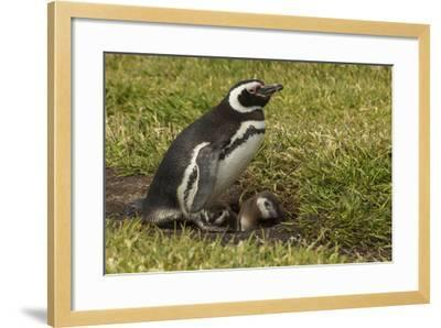 Falkland Islands, Sea Lion Island. Magellanic Penguin and Chicks-Cathy & Gordon Illg-Framed Photographic Print