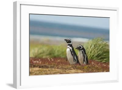 Falkland Islands, Sea Lion Island. Two Magellanic Penguins-Cathy & Gordon Illg-Framed Photographic Print