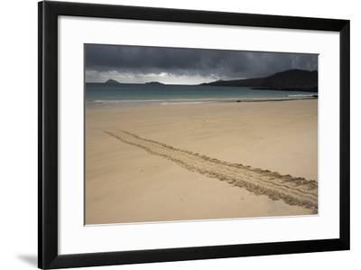 Galapagos Green Sea Turtle Tracks. Floreana Island, Galapagos, Ecuador-Pete Oxford-Framed Photographic Print