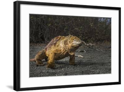 Galapagos Land Iguana, Urvina Bay Isabela Island, Galapagos, Ecuador-Pete Oxford-Framed Photographic Print