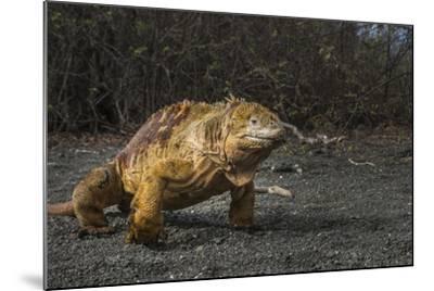 Galapagos Land Iguana, Urvina Bay Isabela Island, Galapagos, Ecuador-Pete Oxford-Mounted Photographic Print
