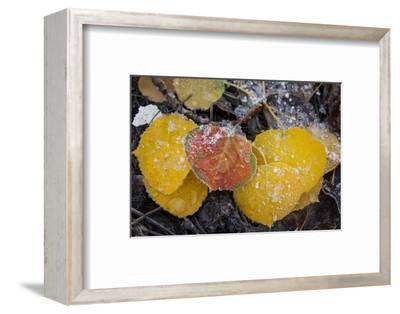 USA, Colorado, Uncompahgre NF. Frozen Water on Aspen Leaves-Don Grall-Framed Photographic Print