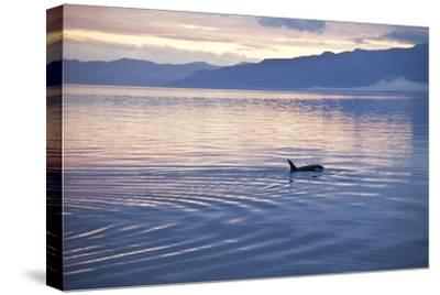 USA, Alaska, Inside Passage, Orcas Cruising-John Ford-Stretched Canvas Print