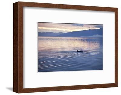 USA, Alaska, Inside Passage, Orcas Cruising-John Ford-Framed Photographic Print