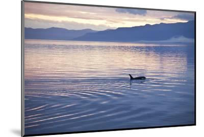USA, Alaska, Inside Passage, Orcas Cruising-John Ford-Mounted Photographic Print