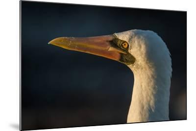 Nazca Booby (Sula Granti), Galapagos Islands, Ecuador-Pete Oxford-Mounted Photographic Print