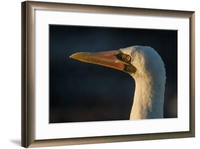 Nazca Booby (Sula Granti), Galapagos Islands, Ecuador-Pete Oxford-Framed Photographic Print