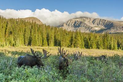 USA, Colorado, Arapaho NF. Three Male Moose Grazing on Bushes-Cathy & Gordon Illg-Framed Photographic Print