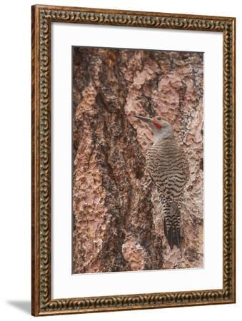 Northern Flicker Balanced on the Bark of a Ponderosa-Michael Qualls-Framed Photographic Print