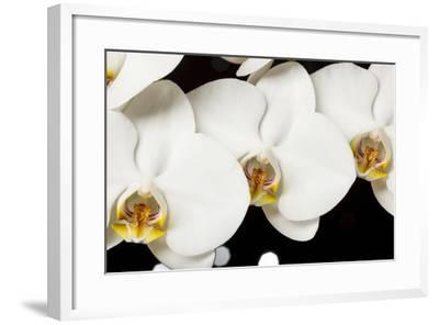 USA, Oregon, Keizer, Hybrid Orchid-Rick A Brown-Framed Photographic Print