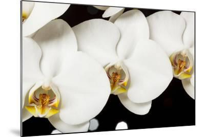 USA, Oregon, Keizer, Hybrid Orchid-Rick A Brown-Mounted Photographic Print