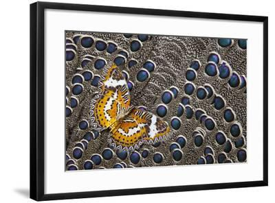Lacewing Butterfly on Grey Peacock Pheasant Feather Design-Darrell Gulin-Framed Photographic Print