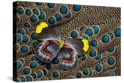 Single Delias Butterfly Underside on Malayan Peacock-Pheasant Feathers-Darrell Gulin-Stretched Canvas Print