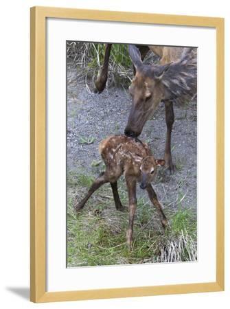 Rocky Mountain Cow Elk with Newborn Calf-Ken Archer-Framed Photographic Print