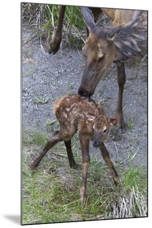 Rocky Mountain Cow Elk with Newborn Calf-Ken Archer-Mounted Photographic Print