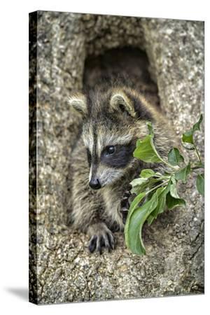 Minnesota, Sandstone. Raccoon in a Hollow Tree-Rona Schwarz-Stretched Canvas Print
