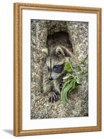 Minnesota, Sandstone. Raccoon in a Hollow Tree-Rona Schwarz-Framed Photographic Print