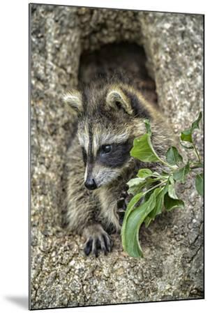 Minnesota, Sandstone. Raccoon in a Hollow Tree-Rona Schwarz-Mounted Photographic Print
