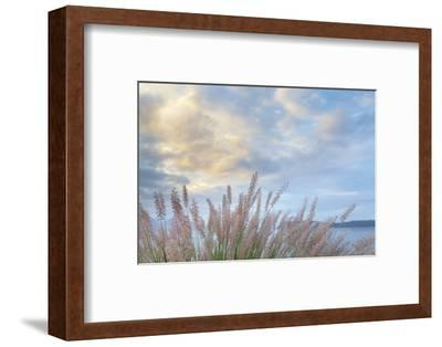 Washington State, Seabeck. Scenic of Pennisetum Ornamental Grasses-Don Paulson-Framed Photographic Print