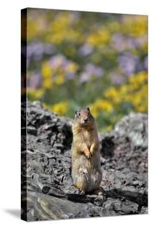 USA, Montana, Glacier NP. Columbia Ground Squirrel Close-up-Steve Terrill-Stretched Canvas Print